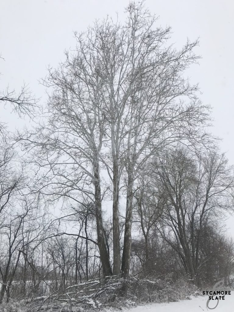 split trunk sycamore