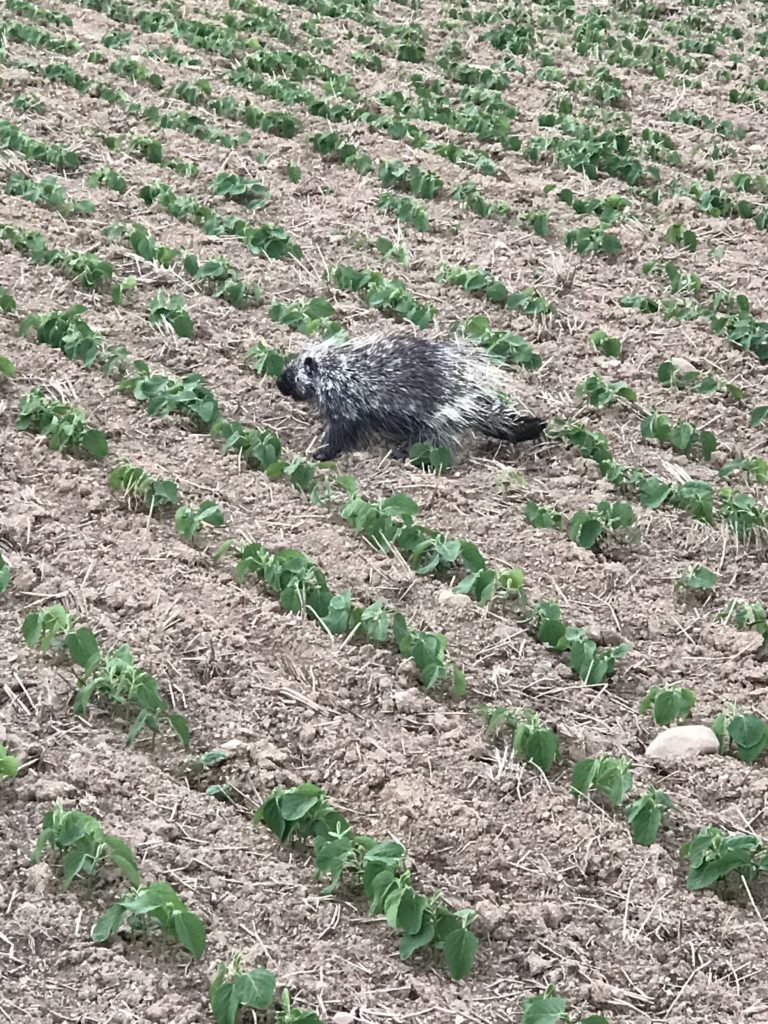 porcupine at the farm