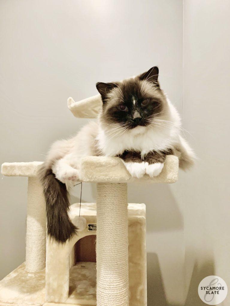 ragdoll cat, Asher